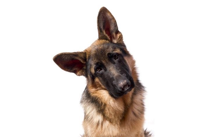 posture chien