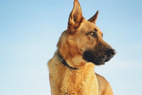 Growth German Shepherd Dog Puppy Weight Chart German Shepherd Dog