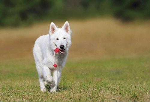 Growth chart White swiss Shepherd Dog