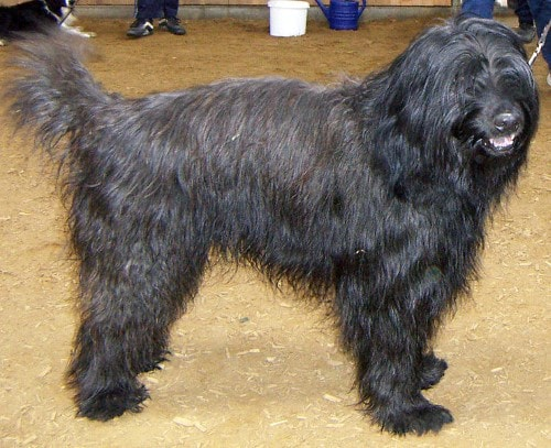 Growth Catalan Shepherd Dog Puppy Weight Chart Catalan Shepherd Dog