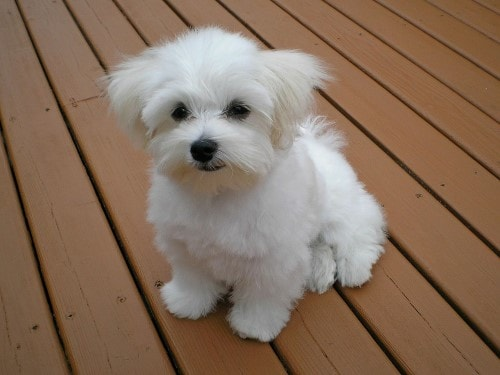 growth maltese bichon puppy weight chart maltese bichon