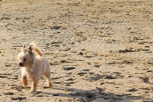 Curva de peso Cairn Terrier