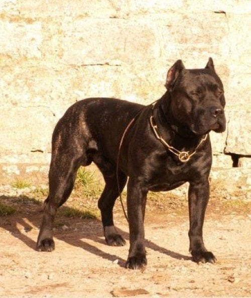 Growth Dogo Canario - Puppy weight chart Dogo Canario