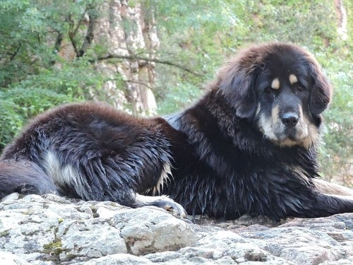 Growth chart Tibetan Mastiff