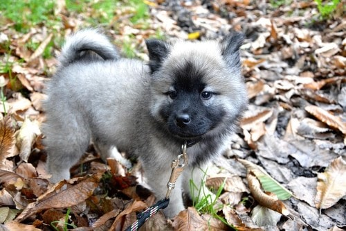 Tabela de peso do cão Eurasier