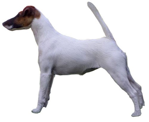 Growth chart Fox-Terrier