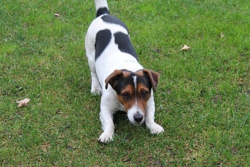 Courbe de poids Jack Russell