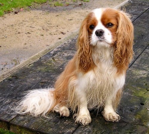 Courbe de poids chien King Charles