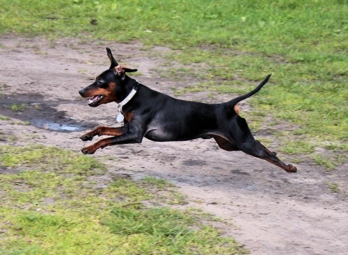 Growth Manchester Terrier Puppy Weight Chart Manchester Terrier