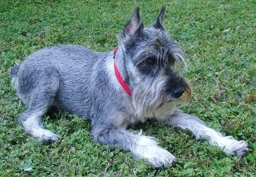 Growth Schnauzer Nain Puppy Weight Chart Schnauzer Nain