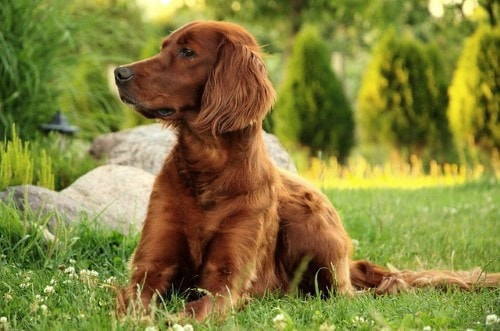 Growth Irish Setter Puppy Weight Chart Irish Setter