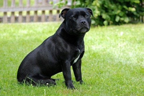 growth staffordshire bull terrier - puppy weight chart staffordshire