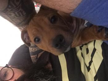 ToyToy, Staffordshire Bull Terrier