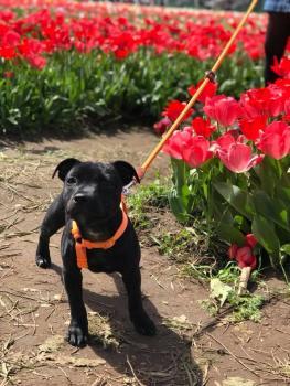 Blu, Staffordshire Bull Terrier