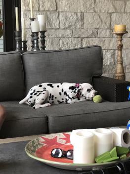 Daisy, Dalmatien