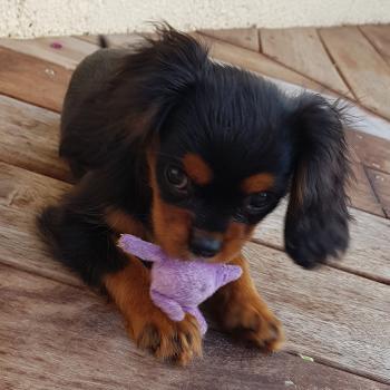 Puppy Growth Chart Olita Cavalier King Charles Female