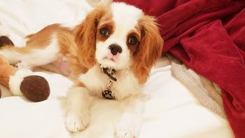 Finley, Cavalier King Charles