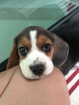 BeeGirl, Beagle
