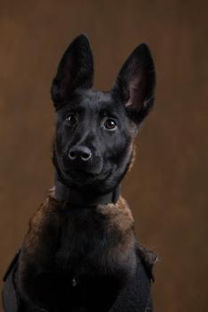 Houston! We Have a Problem, Berger Malinois