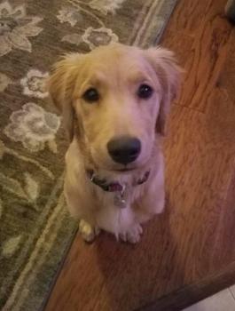 Penelope, Golden Retriever