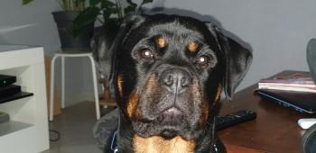Orus, Rottweiler