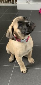Lulu Belle, Bullmastiff