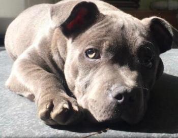 Millie, Staffordshire Bull Terrier