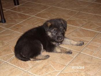 Dixie, Berger Allemand