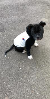 Pakso, Staffordshire Bull Terrier