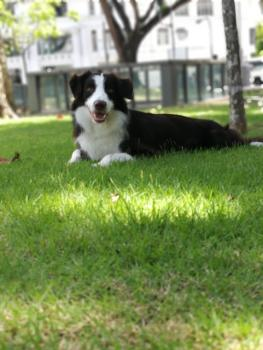 Trevis, Border Collie