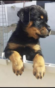 Pablo, Rottweiler