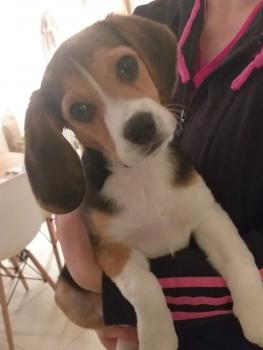 Pocket, Beagle