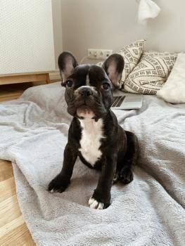 Archie, Bouledogue Français
