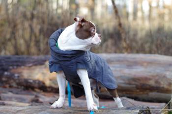 Donatello, Boston Terrier