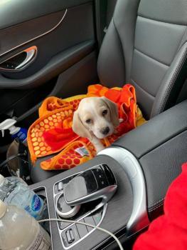 Marilyn, Beagle