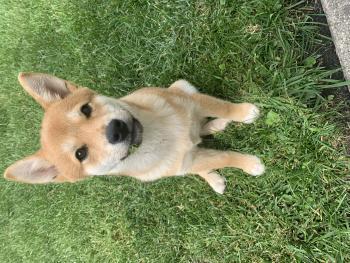 Yuki, Shiba