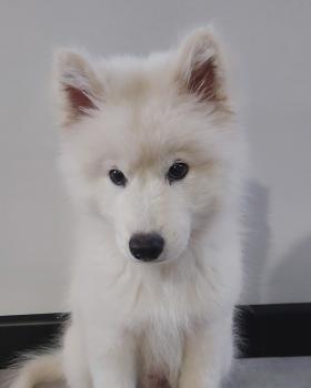 Hiro, Samoyede