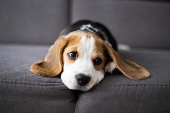 Winchester, Beagle