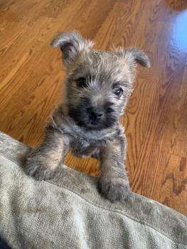 Arya, Cairn Terrier