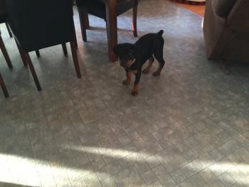 Nina, Rottweiler