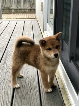 Yuka, Shiba