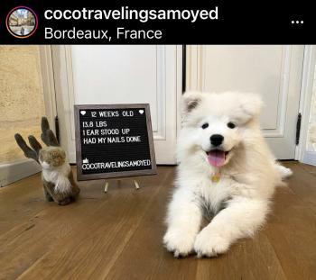 Coco, Samoyede
