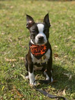 Bean, Boston Terrier