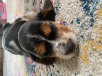 Audrey, Beagle