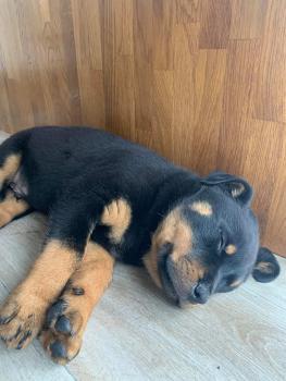 Baloo, Rottweiler