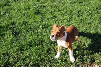 Raïko, Staffordshire Bull Terrier
