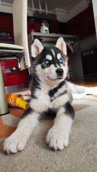 Max, Husky Siberien