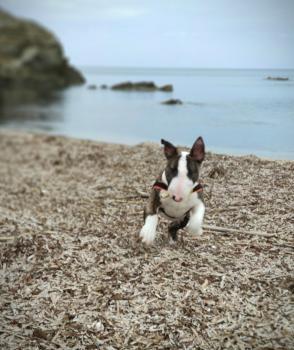 Duke, Bull Terrier