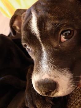 Roy, Staffordshire Bull Terrier