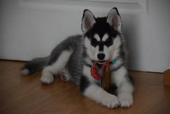Nazka, Husky Siberien